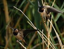 Synchronous. Young swallow, Nikon D50, Tamron 200-400mm F/5.6-6, 1/640sec, F/8, 400mm Royalty Free Stock Photo