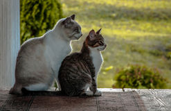 Synchronous cats. Gorokhovets. The Vladimir region. At the end of September 2015. Royalty Free Stock Photos