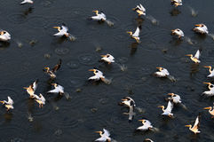 Synchronous flight of White Pelicans over Manych lake Royalty Free Stock Image
