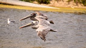 Synchronous pelicans Stock Photography