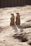 Syncronized Prairie Dogs and their Shadows Royalty Free Stock Image