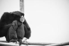 Syndactylus Gibbon Symphalangus Siamang Στοκ εικόνες με δικαίωμα ελεύθερης χρήσης