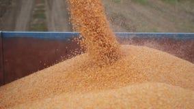 Syndykata żniwiarz rozładowywa kukurydzy kukurudzy w przyczepę zdjęcie wideo