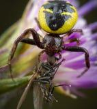 Synema Globosum som äter det lilla biet arkivbild