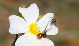 Synema globosum Spider stalking an unidentified scarabee. Synema globosum mediterranean forest spider stalks under the petal of a flower for any close prey Stock Image
