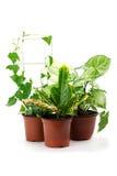 Syngonium, croton ed altre piante in vaso Immagine Stock