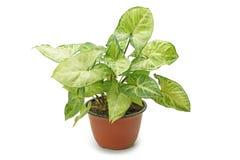 Syngonium della pianta da appartamento Immagine Stock Libera da Diritti