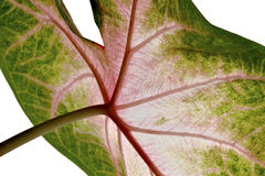 Syngonium leaf, close-up Royalty Free Stock Images