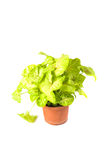 Syngonium mix Stock Photo