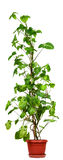 Syngonium podophyllum Stock Image