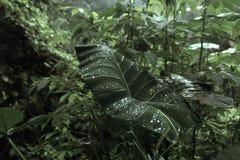 Syngonium, Tau auf den Blättern des Dschungels Stockfotografie