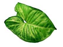 Syngonium verde del foglio isolato Fotografia Stock Libera da Diritti