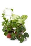 Syngoniumklimop en andere bloemen in potten Royalty-vrije Stock Foto