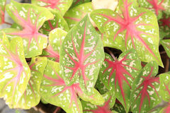 Syngoniumpodophyllum Royalty-vrije Stock Foto