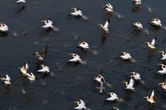Synkront flyg av vita pelikan över Manych sjön Royaltyfri Bild