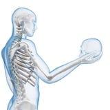 Synligt skelett stock illustrationer
