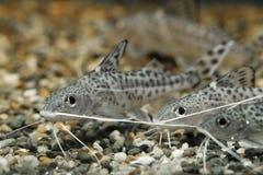 Synodontis alberti 三条水族馆鱼神色 图库摄影