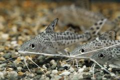 Synodontisalberti Drie aquariumvissen zien eruit stock fotografie