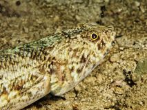 Synodus variegatus - Lizard fish Royalty Free Stock Image