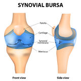Synovial bursa. Synovial Joint. Human anatomy. vector Stock Images