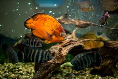 Synspilum de Cichlasoma de poissons d'aquarium, Astronotus, piranha, buttikoferi de Tilapia, frontosa de Cyphotilapia photo libre de droits