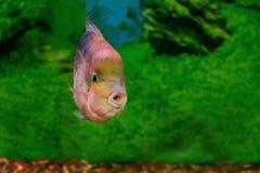 Synspilum hermoso de Cichlasoma de los pescados del acuario Imagen de archivo
