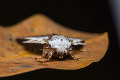 Syntypistis comatus moth on dried leaf Stock Photo