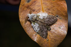 Syntypistis comatus moth on dried leaf Stock Images