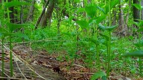 Synvinkel av gröna Forest Floor och växter Upp-slut frodig grönska under skogsmark
