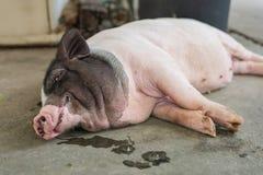 Sypialna świnia na podłoga Selekcyjna ostrość Zdjęcie Stock