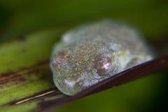 Sypialna żaba chująca na liściu Zdjęcie Royalty Free
