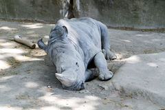 Sypialna biała nosorożec (Ceratotherium simum) Fotografia Royalty Free