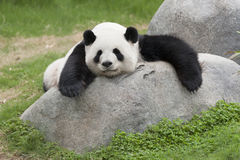Panda Obrazy Royalty Free