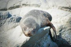 Sypialna Futerkowa foka na skale fotografia stock