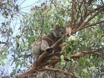 Sypialna koala fotografia royalty free