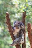 Sypialna koala na eukaliptusowym drzewie, światło słoneczne obraz stock