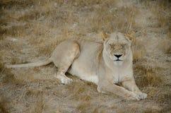 Sypialna lwica camouflaged odpoczywający oko Zdjęcia Royalty Free