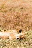 Sypialna lwica w sawannie Kenja, Afryka Obraz Royalty Free