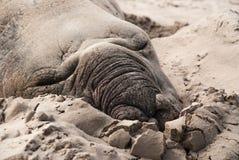 Sypialna męska słoń foka na plaży Zdjęcie Stock