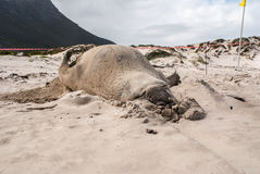 Sypialna męska słoń foka na plaży Zdjęcia Stock