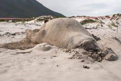 Sypialna męska słoń foka na plaży Fotografia Royalty Free