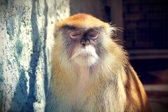 Sypialna małpa. Obrazy Stock