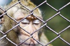 Sypialna małpa Obrazy Royalty Free