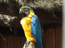 Sypialna papuga Obraz Royalty Free