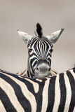 sypialna portret zebra obraz royalty free