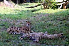 Sypialna rodzina gepardy na trawie w słonecznym dniu fotografia royalty free