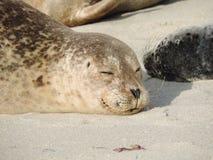 Sypialna Szczęśliwa foka Zdjęcie Royalty Free