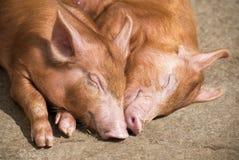 Sypialne świnie fotografia stock