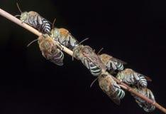 Sypialne pszczoły zdjęcia royalty free