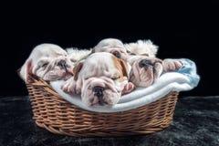 Sypialni Angielscy buldogów szczeniaki Fotografia Royalty Free